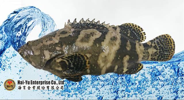 Pearl Grouper Fries Hybrid Grouper Epinephelus Lanceolatus